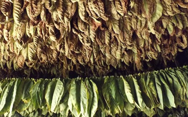 Inauguran en San Luis Centro de Procesamiento de Tabaco en rama trechada