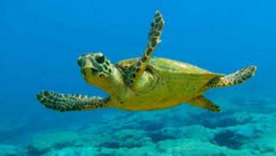 Apoyan estudiantes el proyecto de las tortugas marinas