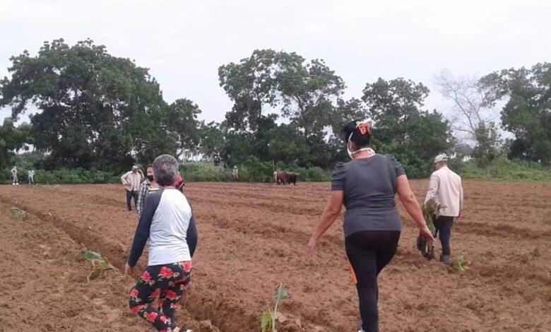 Logran plantar una hectárea de plátano asignada por la Empresa de Acopio y Beneficio del Tabaco en Sandino